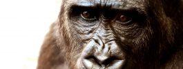 El gorila Kwibi y yo: un encuentro inolvidable
